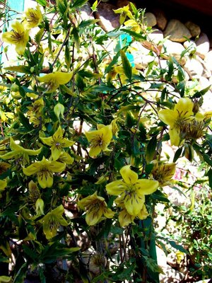 Clematis bylinowy
