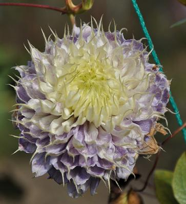 clematis blue night.JPG